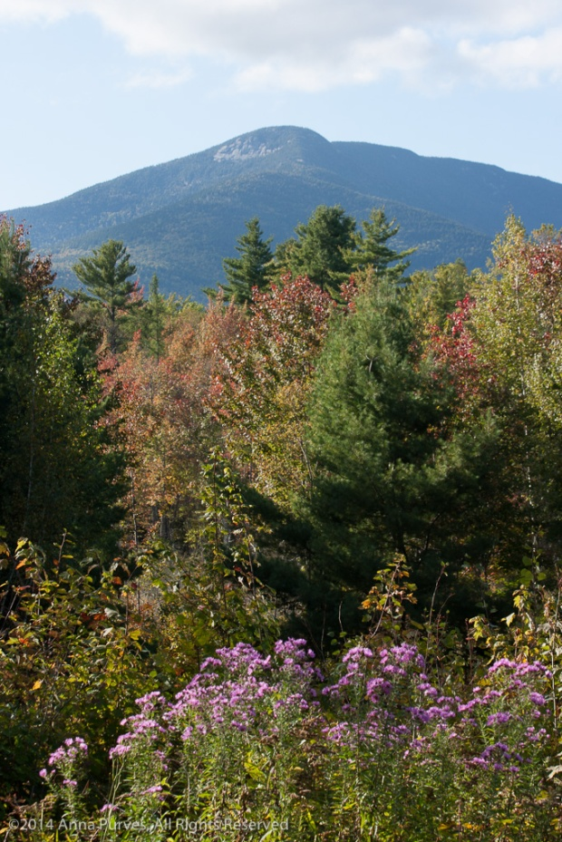 Mt_Whiteface__Asters-5572