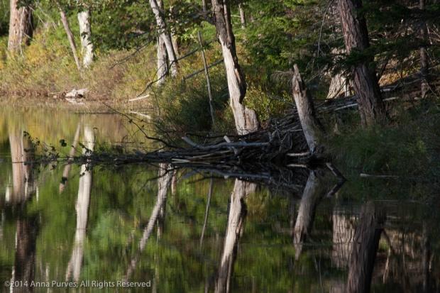 Trunks_and_Beaver_dam-8